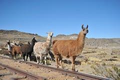 Lamas Royalty Free Stock Image