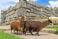 Lamas in inca ruins. In Peru Royalty Free Stock Photo