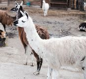 Lamas live in their aviary in an outdoor zoo. Animals in captivity. Lamas live in their aviary in an outdoor zoo in Russia royalty free stock photo