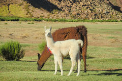 Lamas Stock Images
