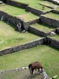 Lamas at Machu Picchu Royalty Free Stock Images