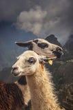 Lamas in Machu Picchu stockfotos