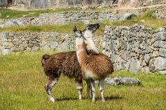 Lamas Machu Picchu ruiniert peruanische Anden Cuzco Peru Stockfotografie