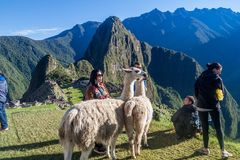Lamas at Machu Picchu ruins stock images
