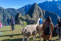 Lamas at Machu Picchu ruins stock photography