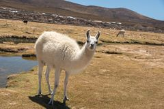 Lamas mignons d'Altiplano Photo stock