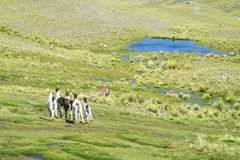 Lamas on mountain green meadow near lake royalty free stock photography