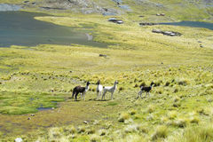 Lamas on mountain meadow on a lake shore Royalty Free Stock Photo