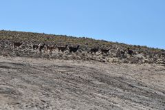Lamas. In mountain part of Bolivia Royalty Free Stock Photography