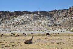 Lamas. In mountain part of Bolivia Royalty Free Stock Photos