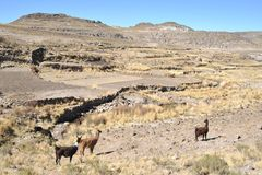 Lamas. In mountain part of Bolivia Stock Image