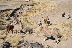 Lamas. In mountain part of Bolivia Stock Photography