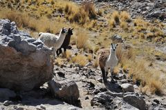 Lamas. In mountain part of Bolivia Royalty Free Stock Images
