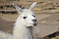 Lamas Stock Photos