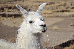 Lamas. In mountain part of Bolivia Stock Photos