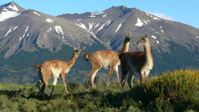 Lamas in mountains. Three lamas in the hills of South America Royalty Free Stock Image