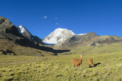 Lamas in the mountains Royalty Free Stock Photos