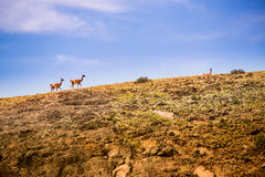Lamas on mountains Royalty Free Stock Images