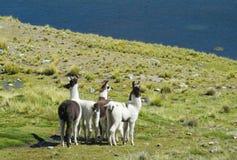 Lamas na zielonej łące blisko jeziora Zdjęcie Royalty Free