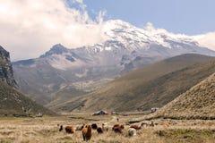 Lamas, Nationalpark Chimborazo, Südamerika Lizenzfreies Stockbild
