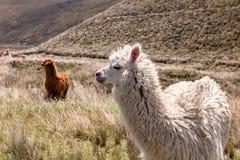 Lamas, Nationalpark Chimborazo, Südamerika Stockfotografie
