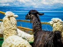 Lamas no Isla del solenoide - Bolívia (ilha do sol) Imagem de Stock