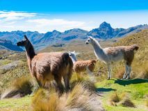 Lamas no parque Cuenca de Cajas fotografia de stock