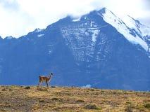 Lamas no pimentão 3 Imagem de Stock Royalty Free
