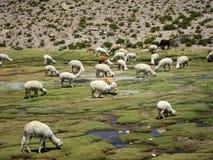 Lamas nos Andes fotos de stock