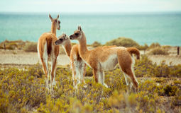 Lamas by the ocean Stock Photos