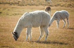 Lamas Patagonian au Chili Photos stock