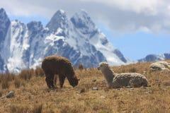 Lamas in Peru Stockfotografie