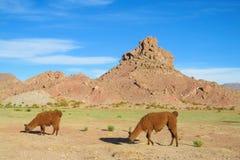Lamas przy altiplano Zdjęcie Stock