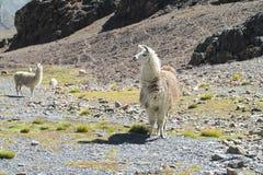 Lamas przy altiplano Zdjęcia Stock