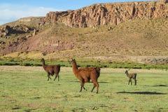 Lamas przy altiplano Zdjęcia Royalty Free