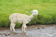 Lamas que cruzan el río Fotografía de archivo