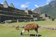 Lamas que pastam em Machu Picchu, Peru Fotos de Stock