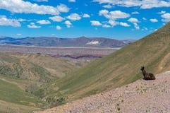 Lamas que tomam a vida demasiado fácil! , Bolívia Imagens de Stock Royalty Free
