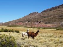 Lamas salvajes que pastan en el paisaje hermoso de la Argentina septentrional Fotografía de archivo libre de regalías