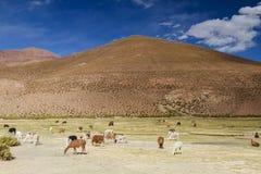 Lamas at San Agustin valley Stock Photos