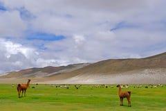 Lamas and sheeps on beautiful altiplano landscape, Uyuni, Bolivia royalty free stock image