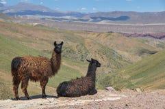 Lamas starring at beautiful landscape of Bolivia.  Stock Photo