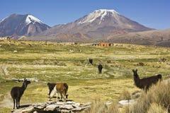 Lamas tenant et semblant le volcan proche Sajama en Bolivie Photos libres de droits