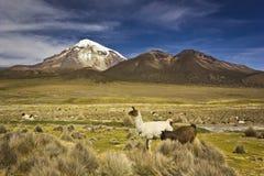 Lamas tenant et semblant le volcan proche Sajama en Bolivie Image libre de droits