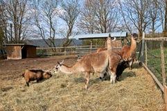 Lamas und Ziegen auf einem Bauernhof in Deutschland stockfotos
