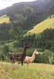 lamas w górach Fotografia Stock