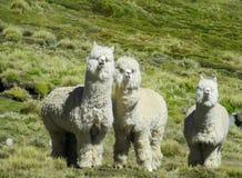 Lamas y alpacas blancos peludos Fotografía de archivo libre de regalías