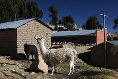 Lamas in Yampupata Stock Photos