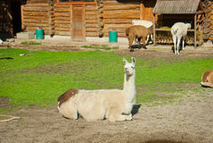 Lamas in a zoo. The lama lies and is basked in the sun. Lamas eat hay Stock Photo
