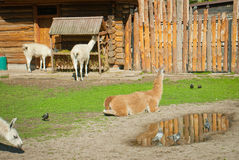 Lamas in a zoo Royalty Free Stock Photo